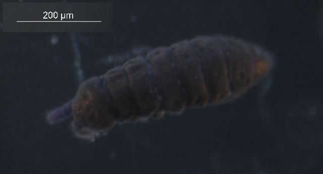 Image of Hypogastrura