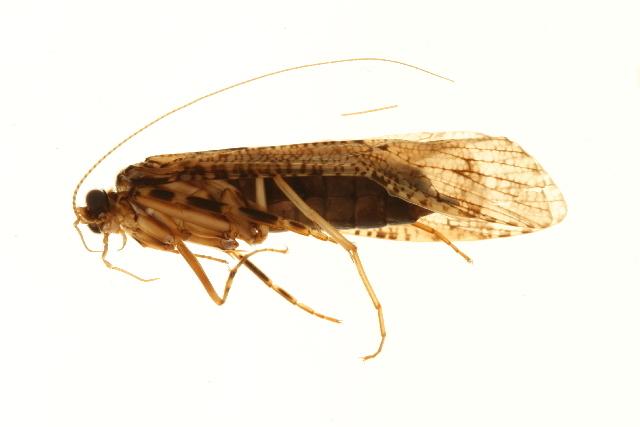 Image of <i>Stenopsyche</i> XZ