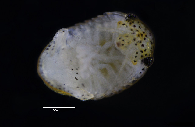Image of cirolanid isopods