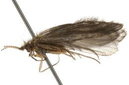 Image of <i>Lepidostoma</i>