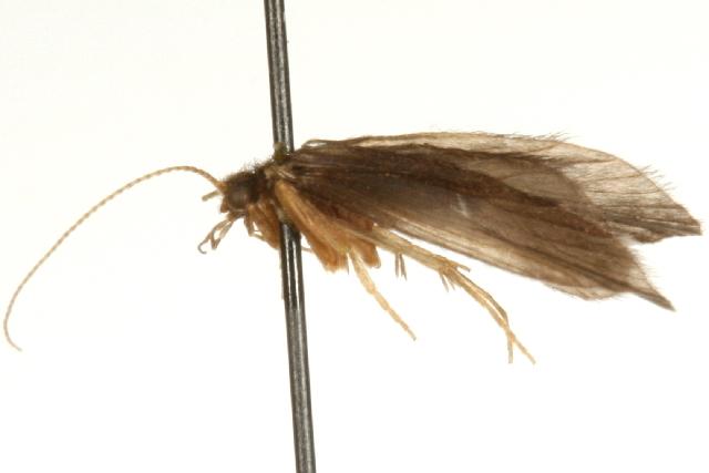 Image of Nyctiophylax
