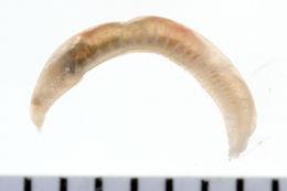 Image of Hamlet's ophelia worm
