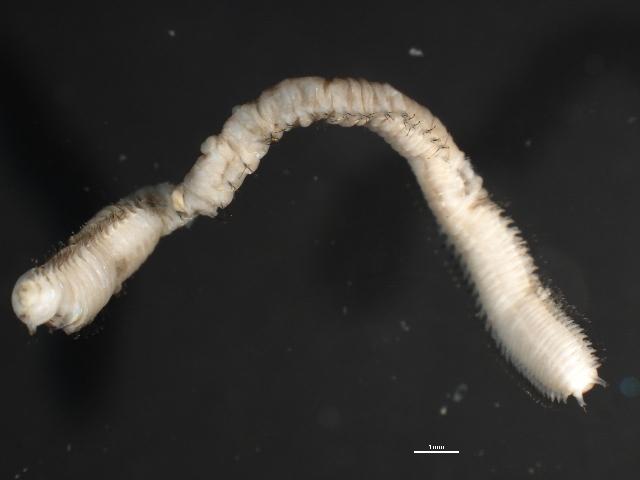 Image of <i>Scoletoma fragilis</i> (O. F. Muller 1776)