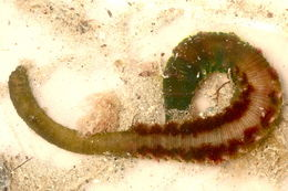 Image of Lugworm