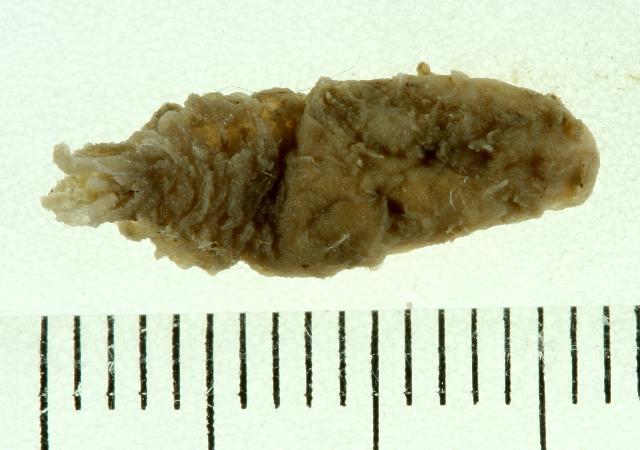 Image of <i>Flabelligera affinis</i> M. Sars 1829
