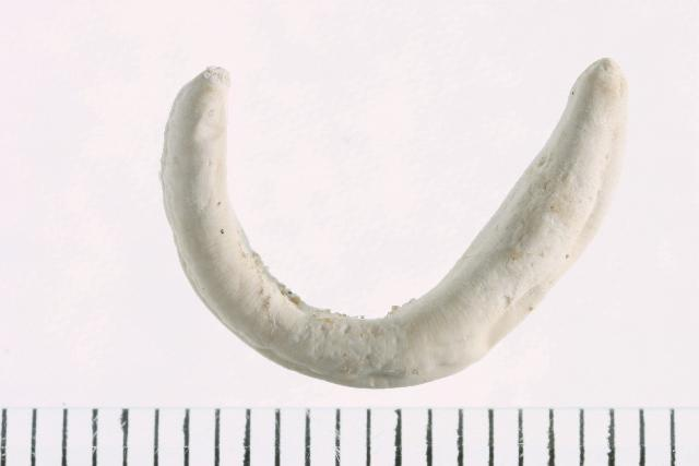 Image of Amphiporus