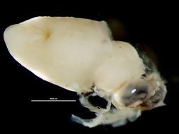 Image of Pyroteuthidae Pfeffer 1912