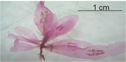 Image of Hypoglossum