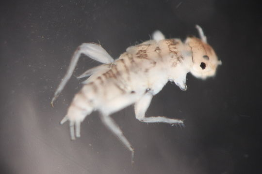 Image of <i>Tricorythodes</i>
