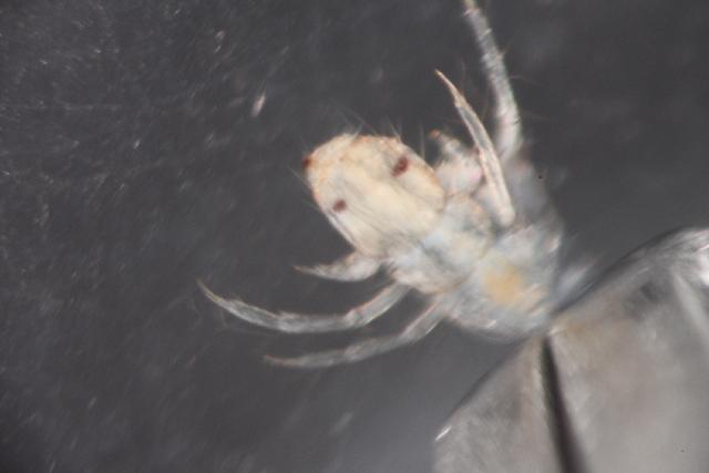 Image of Lepidostoma
