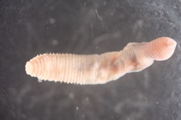 Image of earthworms, leeches, and relatives