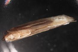Image of Gumaga