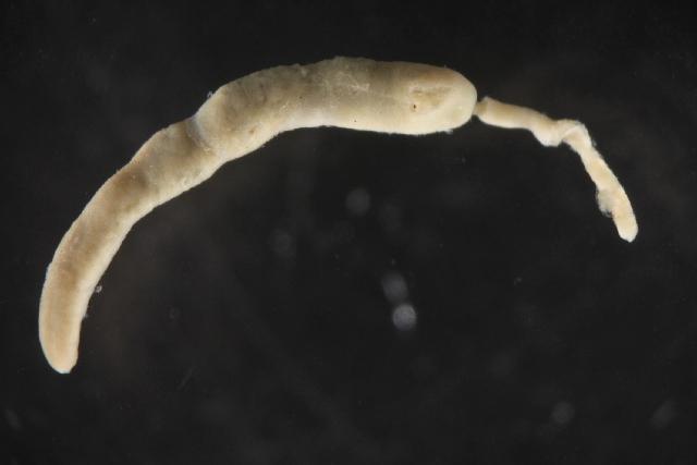 Image of Prostoma