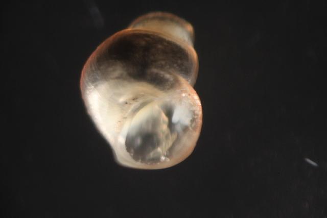 Image of spring snails