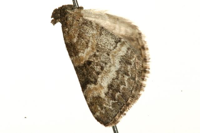 Image of <i>Pterapherapteryx sexalata</i> Retzius 1783