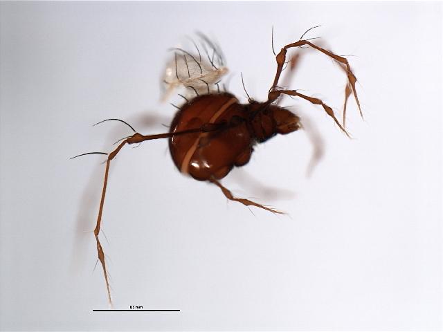 Image of <i>Epidamaeus longitarsalis</i>
