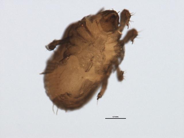 Image of <i>Ameronothrus maculatus</i> (Michael 1882)