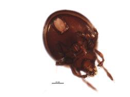 Image of <i>Dorycranosus</i>
