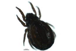 Image of <i>Neonothrus humicola</i>