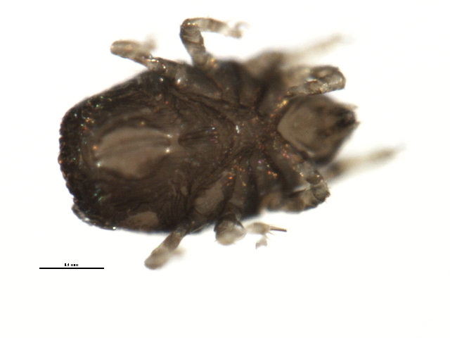 Image of <i>Ameronothrus nigrofemoratus</i> (L. Koch 1879)