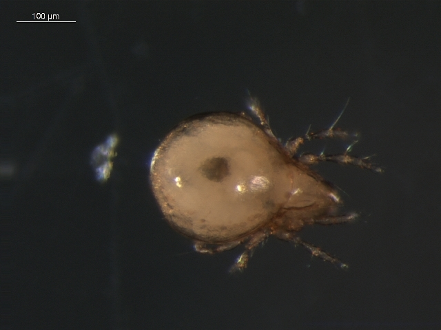 Image of <i><i>Oribatula</i></i> (Oribatula) <i>interrupta</i> (Willmann 1939)