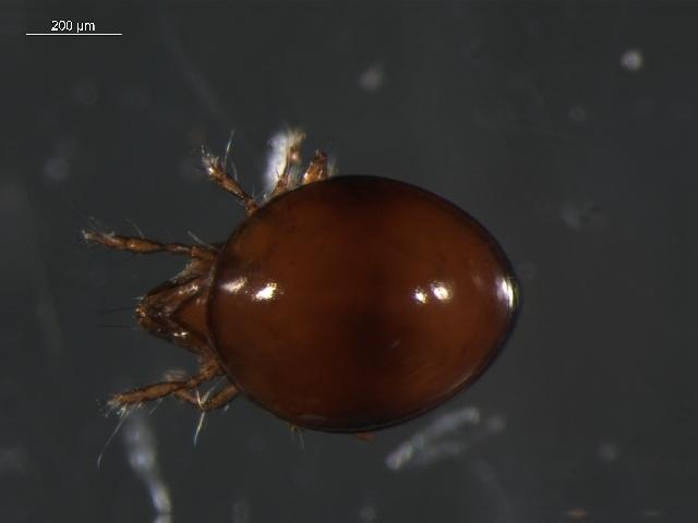 Image of <i>Dorycranosus acutidens</i>