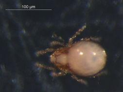Image of Quadroppiidae