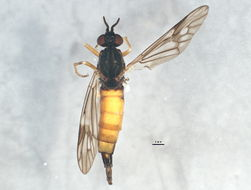 Image of <i>Xylophagus cinctus</i> (De Geer 1776)