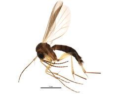 Image of <i>Phronia cordata</i> Lundstrom 1914