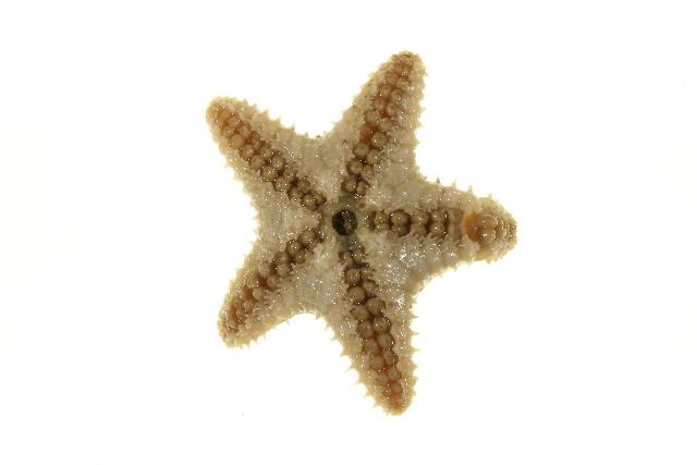 Image of <i>Ctenodiscus crispatus</i> (Bruzelius 1805)