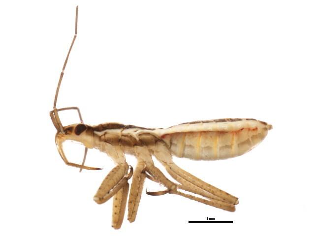 Image of <i>Nabicula</i> (<i>Dolichonabis</i>) <i>nigrovittata nearctica</i> Kerzhner 1981