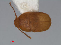 Image of <i>Leptinus testaceus</i> Müller & P. W. J. 1817