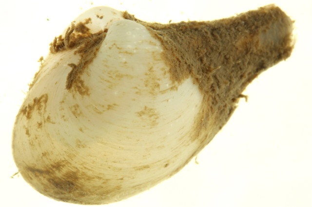 Image of glacial dipperclam