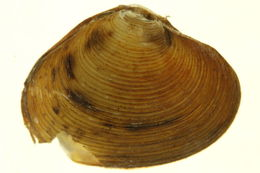 Image of Carditoida