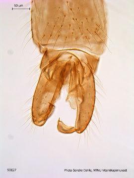 Image of <i>Chaetocladius gracilis</i> Brundin 1956