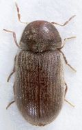 Image of drugstore beetle