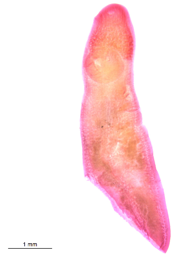 Image of <i>Clinostomum</i>