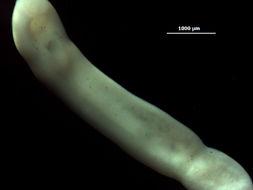 Image of <i>Clinostomum attenuatum</i> Cort 1913