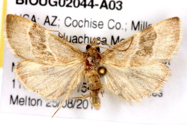 Image of <i>Anemosella viridalis</i>