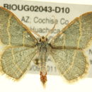 Image of <i>Chlorochlamys appellaria</i> Pearsall 1911