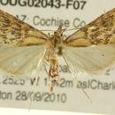 Image of <i>Daulia arizonensis</i> Munroe 1957