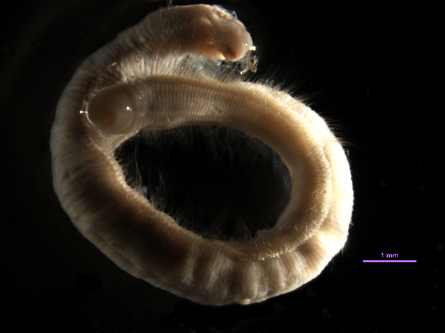 Image of <i>Aphelochaeta petersenae</i> Blake 1996