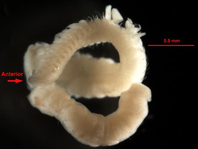 Image of <i>Aricidea</i> (<i>Acmira</i>) <i>catherinae</i> Laubier 1967