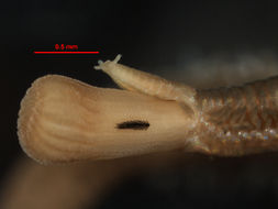 Image of <i>Goniada maculata</i> Örsted 1843