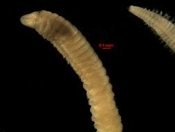 Image of <i>Lumbrineris cruzensis</i> Hartman 1944