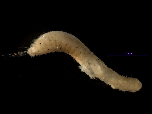 Image of <i>Pherusa neopapillata</i> Hartman 1961