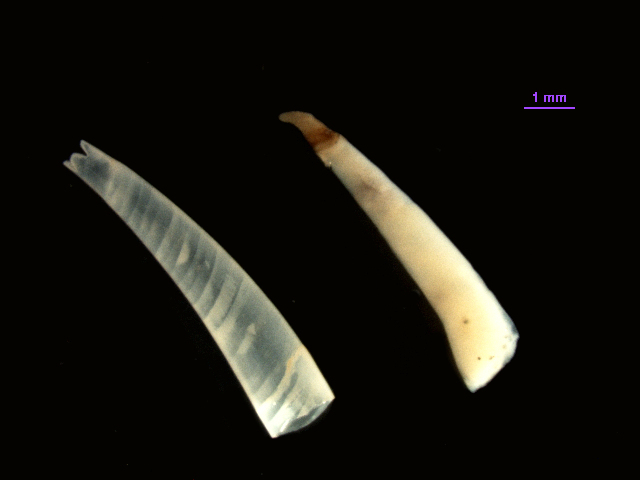Image of fourslit toothshell