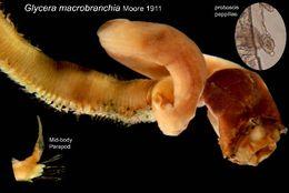 539.cmbia 00379glycera macrobranchia bodydorsalp36501 1295446994 jpg.260x190