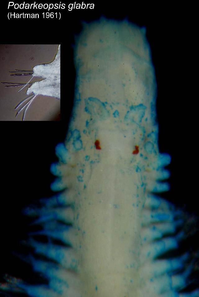 539.cmbia 00412podarkeopsis glabrus dorsalp22001 1295872712 jpg