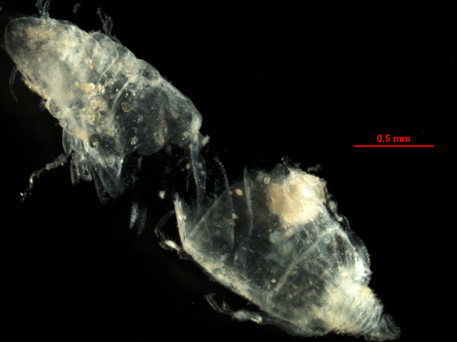 Image of <i>Caecognathia crenulatifrons</i> (Monod 1926)